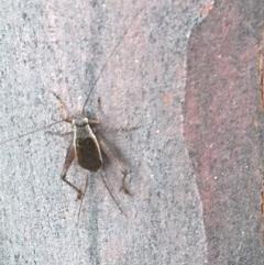 Eurepa marginipennis (Mottled bush cricket) at Black Mountain - 16 Dec 2020 by Tapirlord