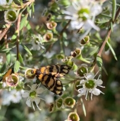 Asura lydia (Lydia Lichen Moth) at Murrumbateman, NSW - 18 Dec 2020 by SimoneC