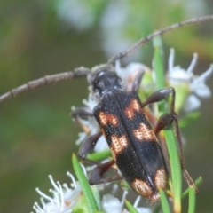 Phoracantha semipunctata (TBC) at Black Mountain - 15 Dec 2020 by Harrisi