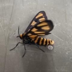 Amata sp. (genus) (Tiger Moth) at Pialligo, ACT - 18 Dec 2020 by Ghostbat