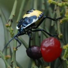 Commius elegans (Cherry Ballart Shield Bug) at Mount Ainslie - 16 Dec 2020 by jbromilow50