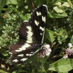 Cruria donowani (Crow or Donovan's Day Moth) at Aranda, ACT - 19 Dec 2020 by KMcCue