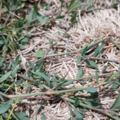 Polygonum aviculare at Bass Gardens Park, Griffith - 19 Dec 2020