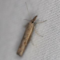 Ptochostola microphaeellus (A Crambid moth) at Goorooyarroo - 6 Nov 2020 by ibaird