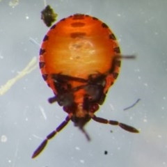 Pentatomoidea (superfamily) at Yass River, NSW - 19 Dec 2020