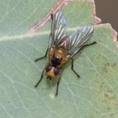 Tachinidae sp. (family) (TBC) at Higgins, ACT - 18 Dec 2020 by AlisonMilton
