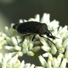 Stomorhina sp. (genus) (Snout fly) at Mount Ainslie - 16 Dec 2020 by jbromilow50