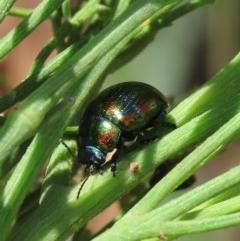 Callidemum hypochalceum (Dodonaea leaf beetle) at Tuggeranong Hill - 19 Dec 2020 by Owen