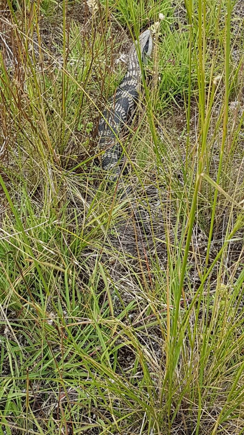 Tiliqua scincoides at Bass Gardens Park, Griffith - 19 Dec 2020