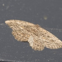Ectropis (genus) (An engrailed moth) at Higgins, ACT - 18 Dec 2020 by AlisonMilton