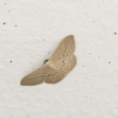 Scopula optivata (Varied Wave) at Higgins, ACT - 18 Dec 2020 by AlisonMilton