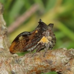 Pogonella minutus (Tiny two-spined treehopper) at ANBG - 18 Dec 2020 by TimL