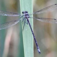Austroargiolestes icteromelas (Common Flatwing) at Kambah, ACT - 18 Dec 2020 by HelenCross