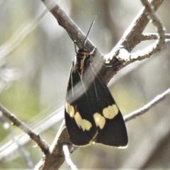Nyctemera amicus (Senecio or Magpie moth) at Coree, ACT - 17 Dec 2020 by JohnBundock