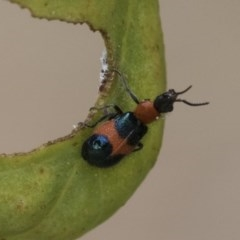 Dicranolaius bellulus (Red and Blue Pollen Beetle) at Acton, ACT - 17 Dec 2020 by AlisonMilton