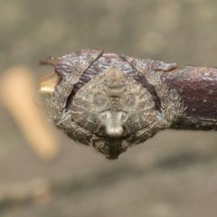 Dolophones turrigera (Turret spider) at ANBG - 18 Dec 2020 by AlisonMilton