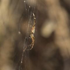 Plebs bradleyi (Enamelled Spider) at Acton, ACT - 18 Dec 2020 by AlisonMilton