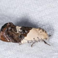 Hypertropha chlaenota at Melba, ACT - 19 Nov 2020