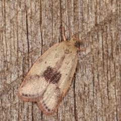 Garrha phoenopis (A Concealer moth) at Melba, ACT - 19 Nov 2020 by kasiaaus