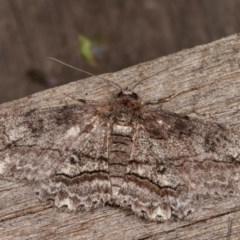 Cleora (genus) (A Looper Moth) at Melba, ACT - 19 Nov 2020 by kasiaaus