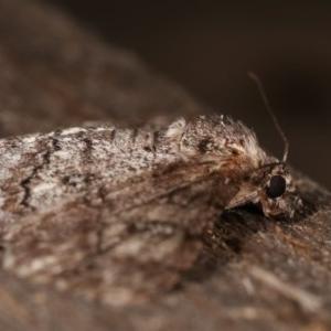 Cleora (genus) at Melba, ACT - 19 Nov 2020