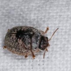 Trachymela sp. (genus) (Brown button beetle) at Melba, ACT - 19 Nov 2020 by kasiaaus