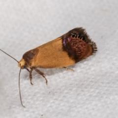 Eupselia satrapella and similar species at Melba, ACT - 19 Nov 2020