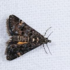 Heliothela ophideresana (A Crambid Moth (Scopariinae)) at Melba, ACT - 19 Nov 2020 by kasiaaus