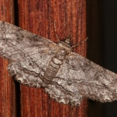 Cleora (genus) (A Looper Moth) at Melba, ACT - 19 Nov 2020 by kasiaaus