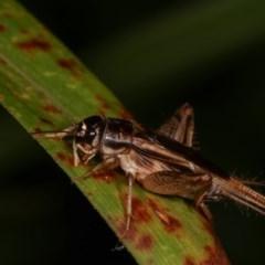 Lepidogryllus sp. (genus) (A cricket) at Melba, ACT - 19 Nov 2020 by kasiaaus