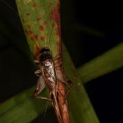 Lepidogryllus sp. (genus) at Melba, ACT - 19 Nov 2020