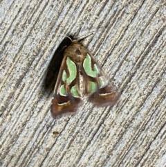 Cosmodes elegans (Green blotched moth) at Pialligo, ACT - 19 Dec 2020 by Ghostbat