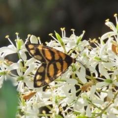 Asura lydia (Lydia Lichen Moth) at Tuggeranong Hill - 19 Dec 2020 by Owen