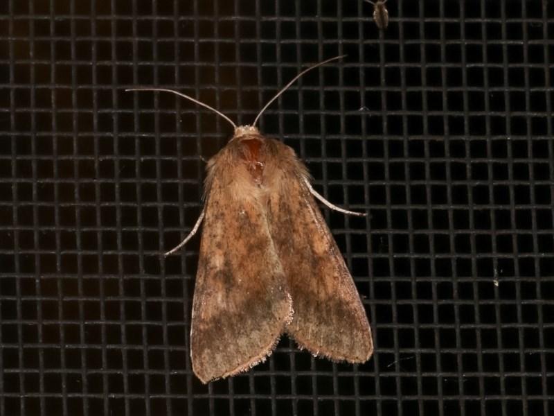 Helicoverpa (genus) at Melba, ACT - 19 Nov 2020