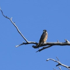 Falco longipennis (Australian Hobby) at Mount Ainslie - 14 Dec 2020 by jbromilow50