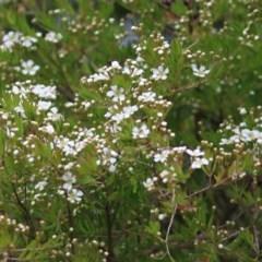 Sannantha pluriflora (Twiggy Heath Myrtle, Tall Baeckea) at Panboola - 20 Dec 2020 by Kyliegw