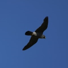 Falco peregrinus (Peregrine Falcon) at Mount Ainslie - 11 Dec 2020 by jbromilow50