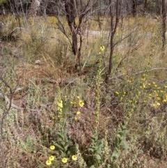 Verbascum virgatum (Green Mullein) at Downer, ACT - 19 Dec 2020 by abread111