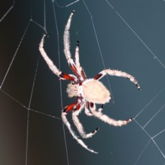 Eriophora sp. (genus) (Garden orb weaver) at O'Connor, ACT - 19 Dec 2020 by ibaird