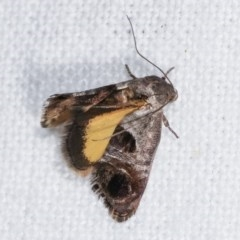 Eupselia beatella (A Twig moth.) at Melba, ACT - 19 Nov 2020 by kasiaaus