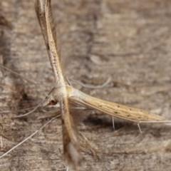 Stenoptilla zophodactylus at Melba, ACT - 19 Nov 2020