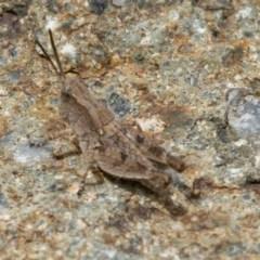 Phaulacridium vittatum (Wingless Grasshopper) at ANBG - 16 Dec 2020 by WHall