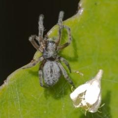 Badumna sp. (genus) (Lattice-web spider) at Acton, ACT - 16 Dec 2020 by WHall