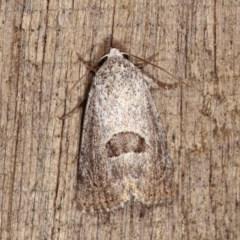 Armactica conchidia (Conchidia Moth) at Melba, ACT - 19 Nov 2020 by kasiaaus