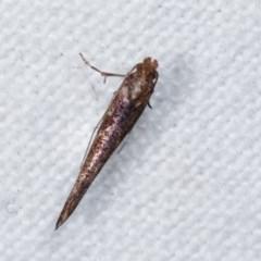 Zelleria cynetica (A moth (Yponomeutidae familiy)) at Melba, ACT - 19 Nov 2020 by kasiaaus