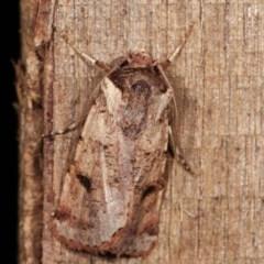 Agrotis porphyricollis (Variable Cutworm) at Melba, ACT - 19 Nov 2020 by kasiaaus
