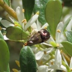 Nemophora sp. (Genus) (A Fairy Moth) at Theodore, ACT - 20 Dec 2020 by Owen