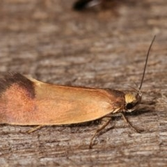 Delexocha ochrocausta (A concealer moth) at Melba, ACT - 19 Nov 2020 by kasiaaus