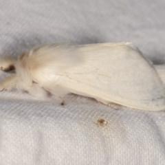 Trichiocercus sparshalli at Melba, ACT - 19 Nov 2020