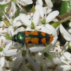Castiarina scalaris (Scalaris jewel beetle) at Tuggeranong Hill - 20 Dec 2020 by Owen